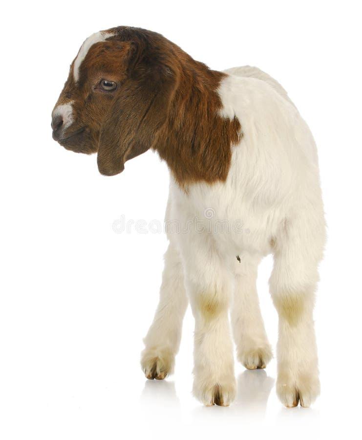 Position de chèvre de chéri photo libre de droits