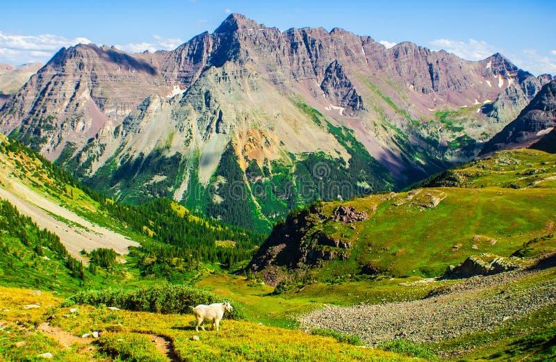 Position de chèvre de montagne seule avec la région sauvage de montagne de négligence de fierté images stock