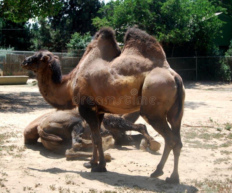 Position de chameau images libres de droits