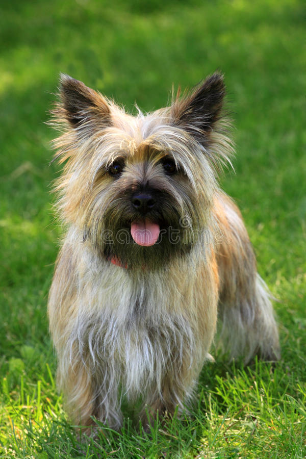 Position de chien terrier de cairn photos stock