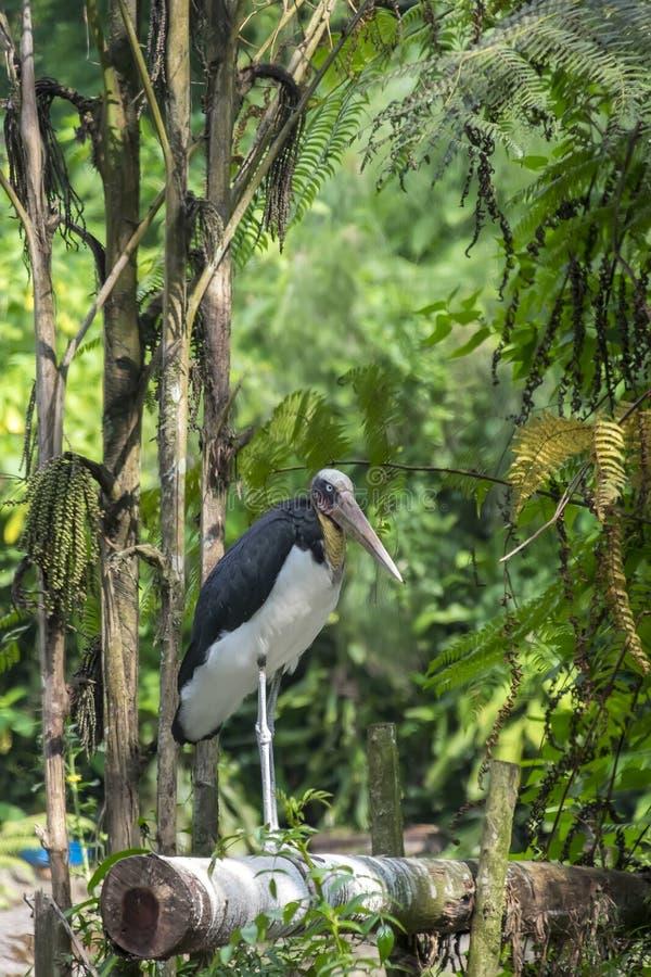 Position de cigogne de Javan sur une nature en bois en bambou photographie stock