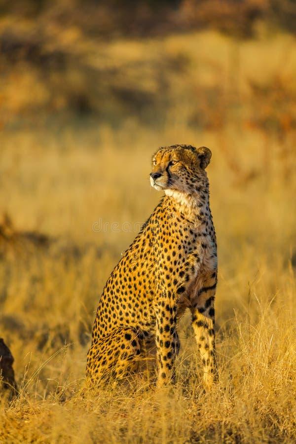 Position de guépard en Afrique photographie stock