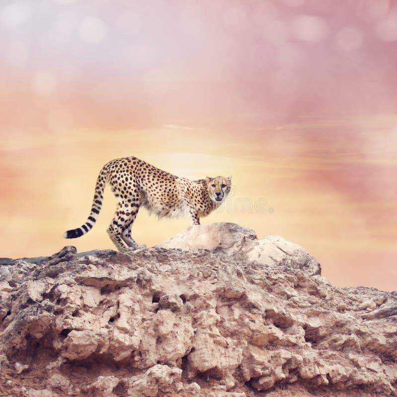 Position de guépard sur un dessus des roches photo stock