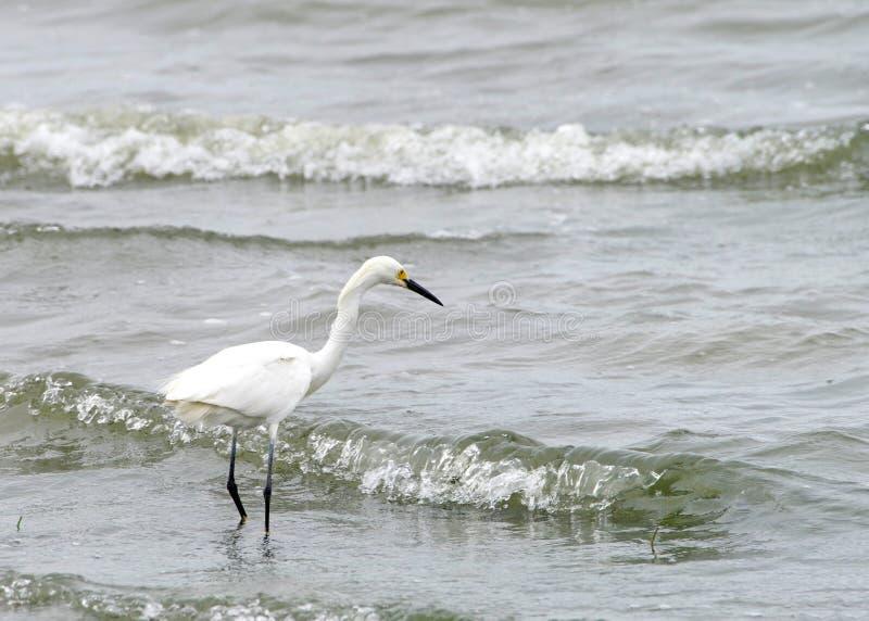Position de héron de Milou sur des vagues de plage entrant photos libres de droits