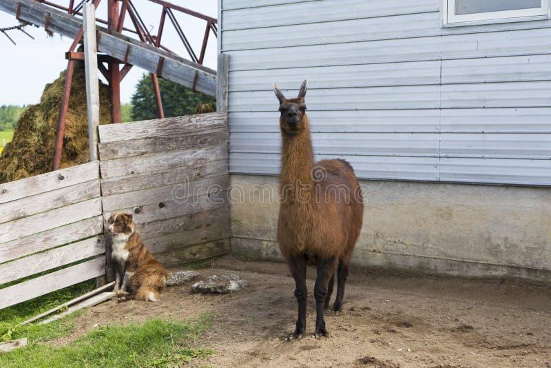 Position de lama devant la grange regardant fixement avec l'expression impérieuse tandis que le berger australien rouge et blanc  photos stock