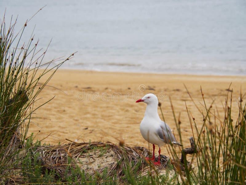 Position de mouette sur la plage regardant en longueur photos libres de droits