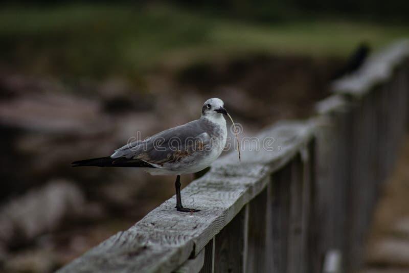 Position de mouette sur le rail de barrière avec une lame d'herbe dans son bec image libre de droits