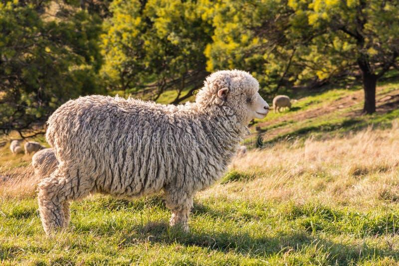 Position de moutons mérinos du Nouvelle-Zélande sur le pré photo stock