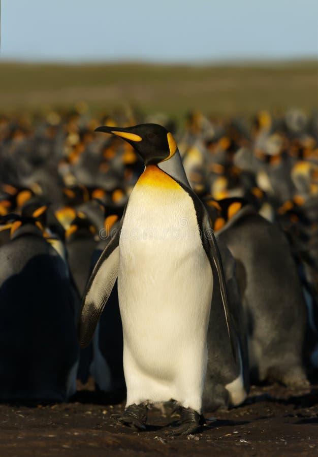 Position de pingouin de roi près de la colonie images libres de droits