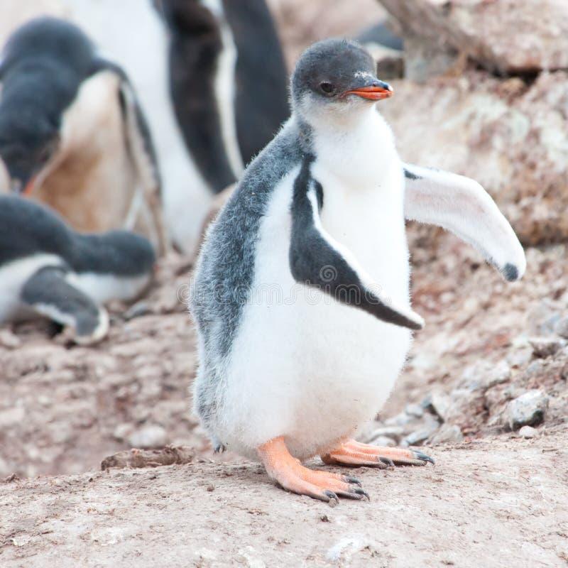 Position de poussin de pingouin de Gentoo instable sur les pieds bancals photographie stock