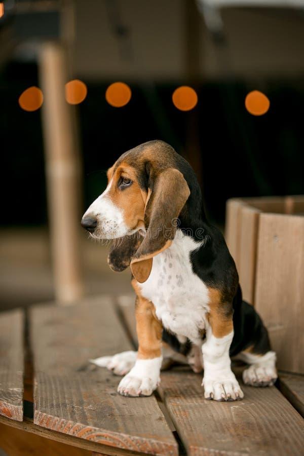Position de puppey de chien de chasse de basset sur le bois lumière de fond de caffe images stock