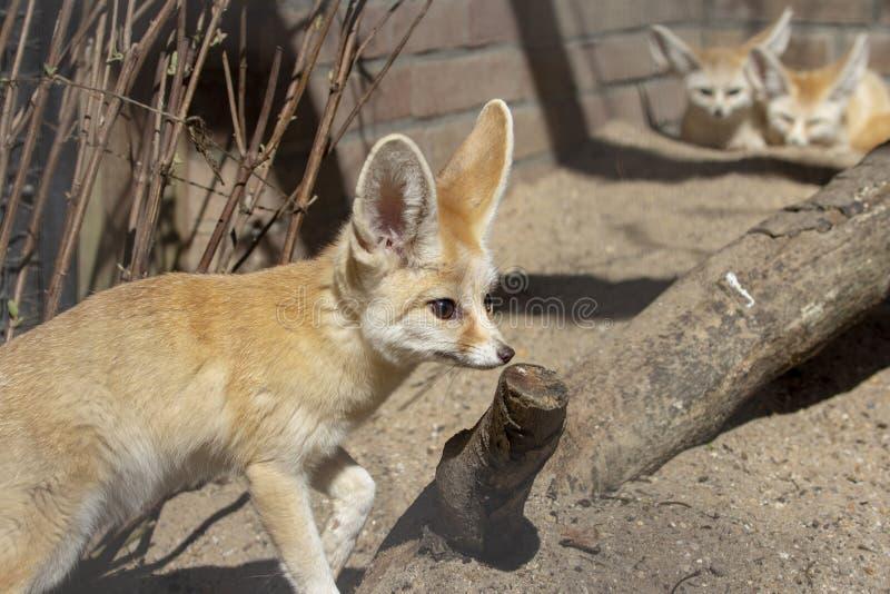 Position de renard de Fennec dans l'avant, et deux renards de Fennec au fond photographie stock libre de droits