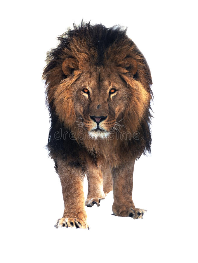 Position de roi de lion d'isolement au froid blanc image libre de droits