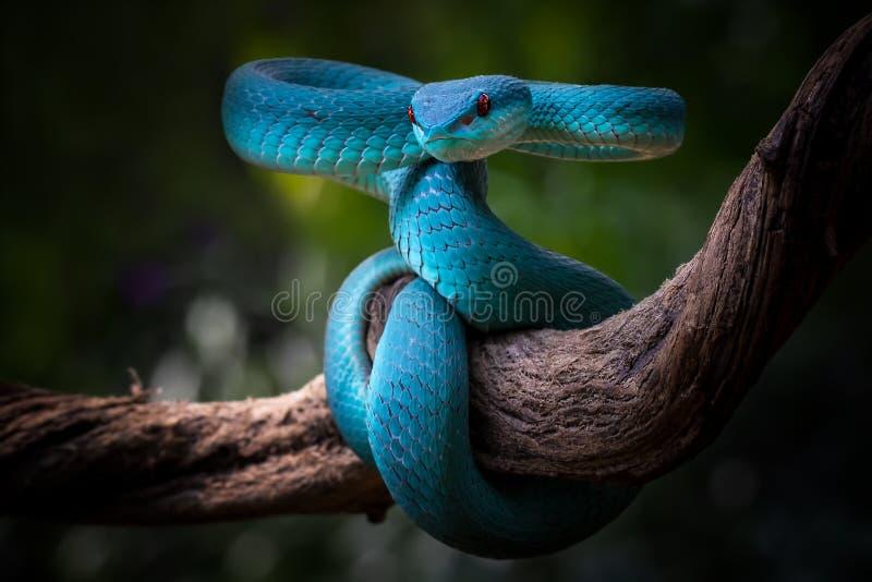 Position de secours, vipère bleu avec yeux rouges en position de veille et prêt à attaquer photographie stock libre de droits