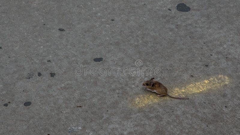 Position de souris de champ sur la route photos libres de droits