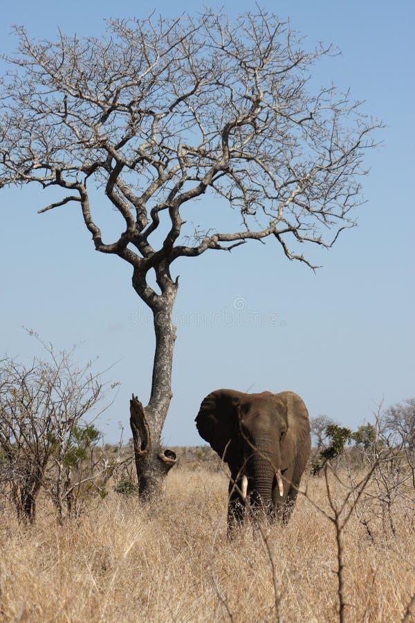 Position de taureau d'éléphant de prêt près d'un arbre sec photographie stock libre de droits