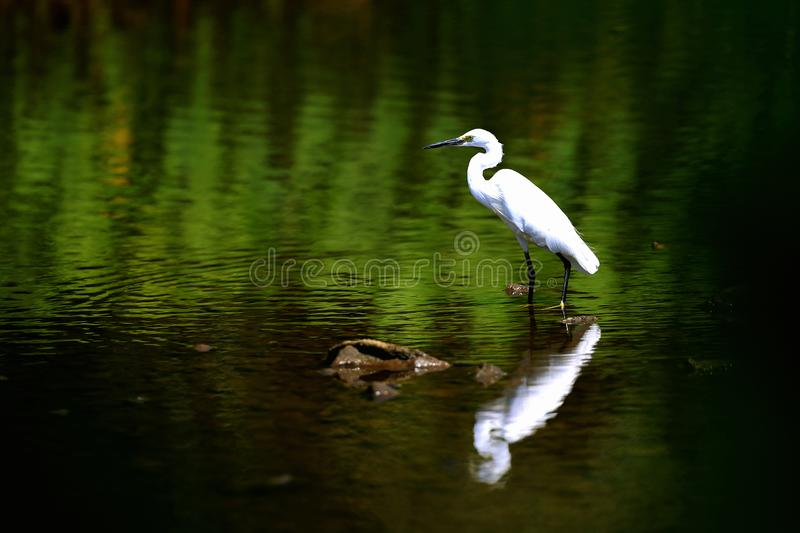 Position de thula d'Egretta de héron de Milou dans le marais et regarder quelque chose photo stock