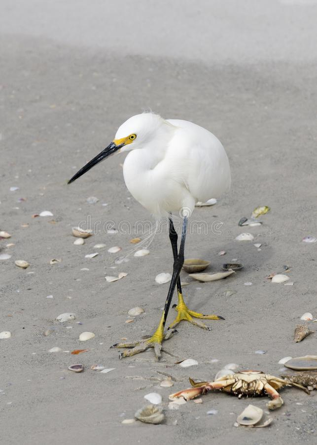 Position de thula d'Egretta de héron de Milou sur l'alimentation de plage image stock