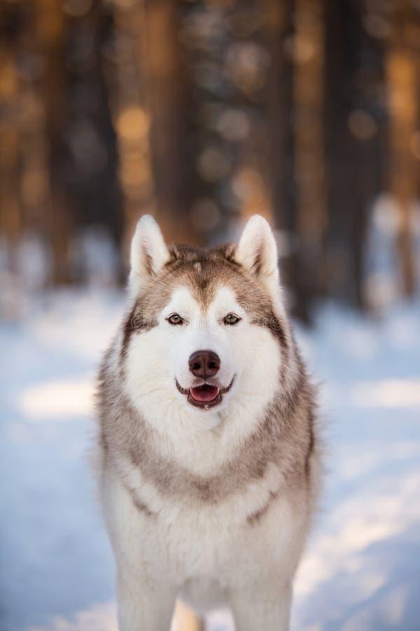 Position enrouée sibérienne mignonne, belle et heureuse de chien sur le chemin de neige dans la forêt d'hiver au coucher du solei images libres de droits