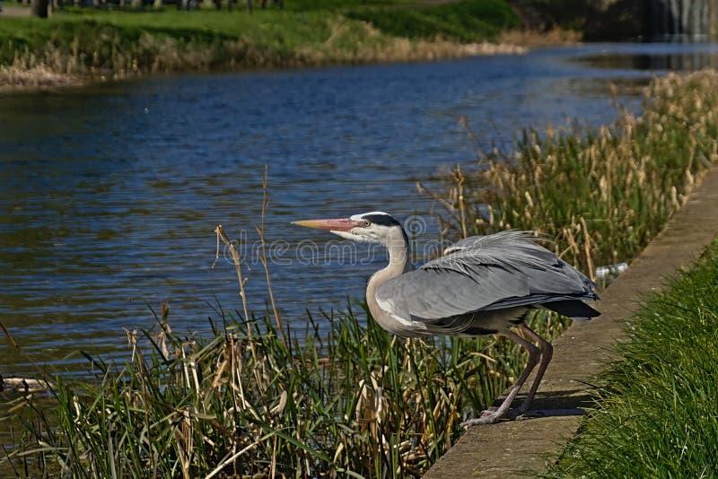 Position grise de héron, prête à se soulever de le long d'un canal - Ardea cinerea photos stock