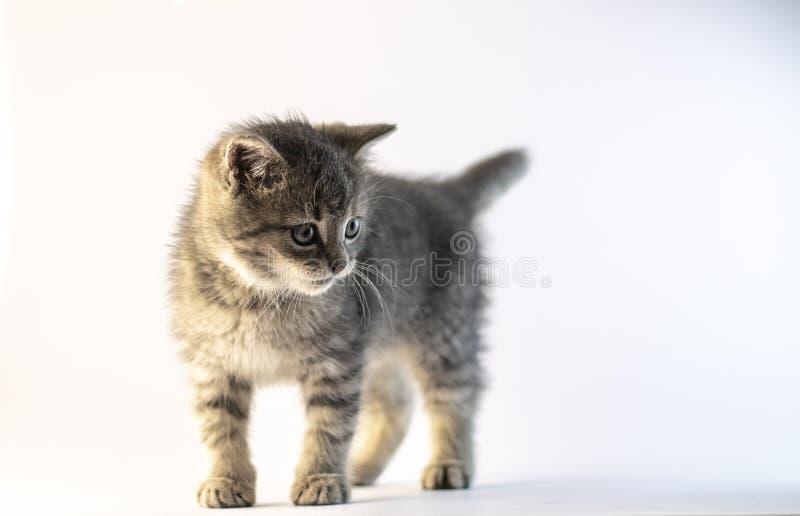 Position grise mignonne de chat et regard vers la droite photos libres de droits