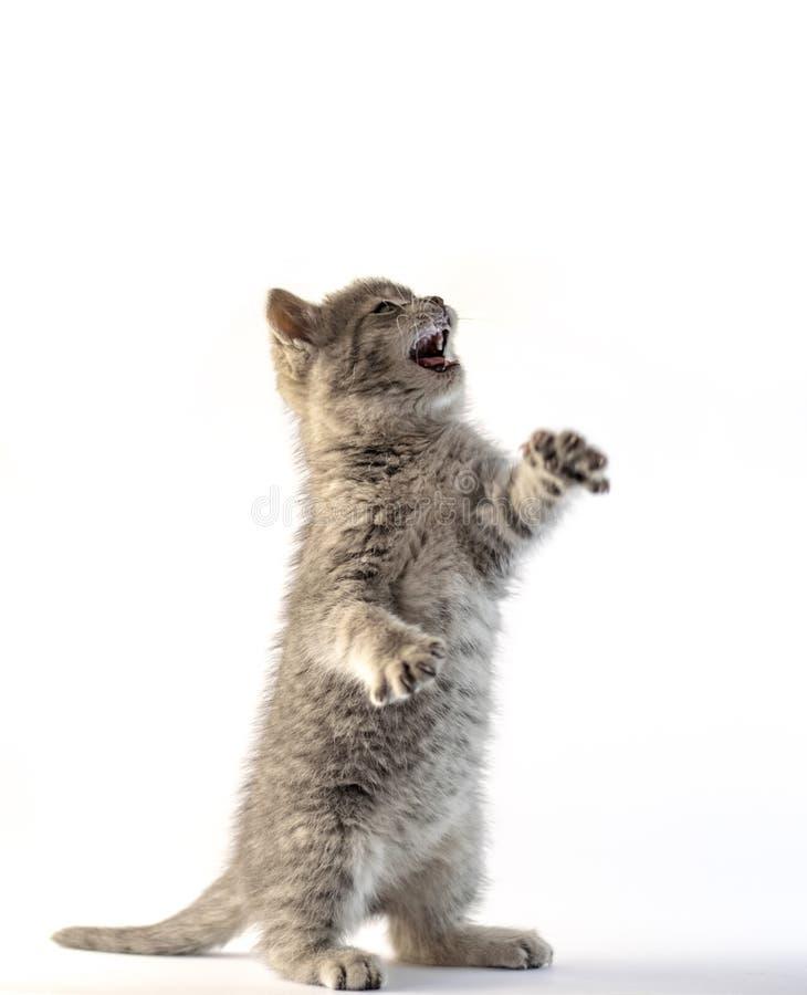 Position grise mignonne de chaton sur ses deux jambes images libres de droits
