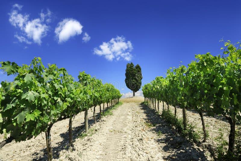 Position italienne, rangées des vignes vertes photos libres de droits