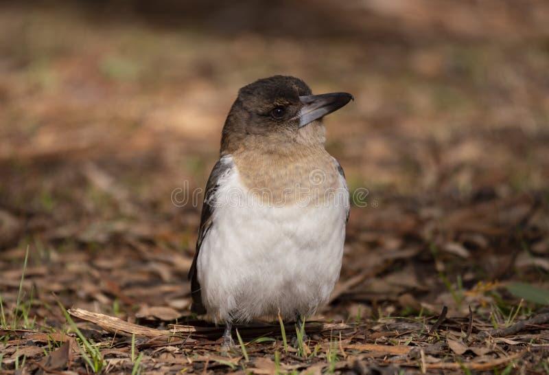 Position juvénile de Butcherbird pie au sol image stock