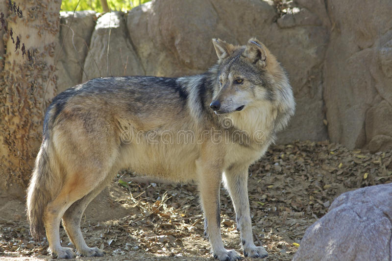 Position mexicaine de loup photo stock