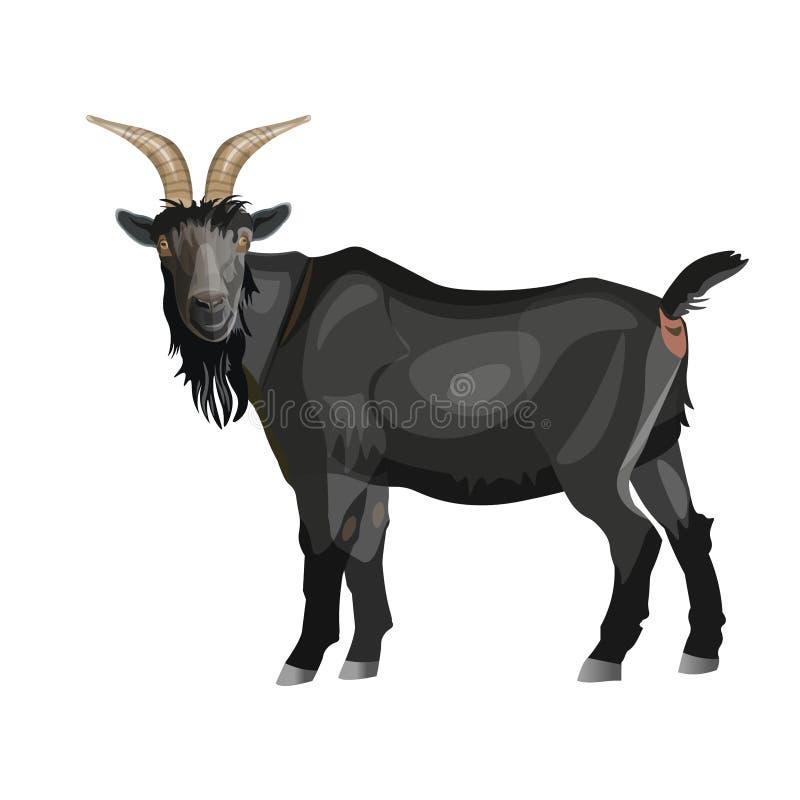 Position noire de chèvre photo libre de droits