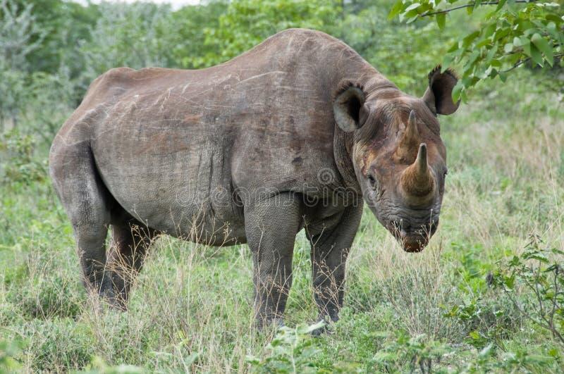 position noire de rhinocéros images libres de droits