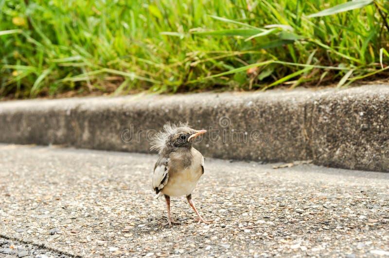 Position nouvellement hachée d'oiseau sur un trottoir images libres de droits