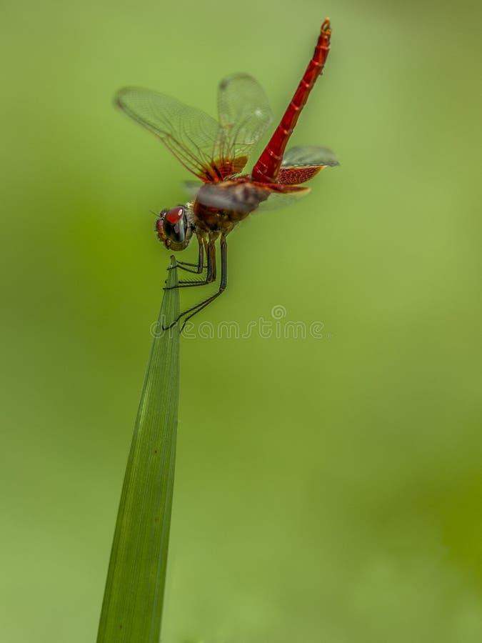 Position rouge de libellule sur la feuille images stock