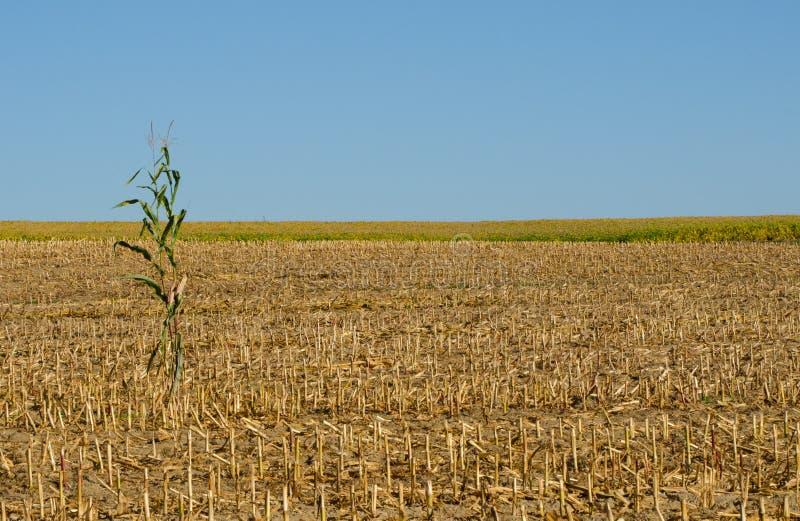 Position solitaire de cornstalk dans un domaine de maïs moissonné image libre de droits