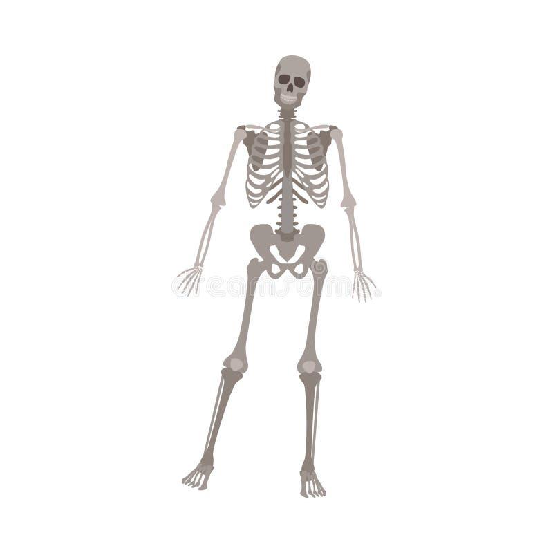 Position squelettique grise sur une jambe, modèle humain d'anatomie pour les sciences médicales posant sur la vue de face illustration libre de droits