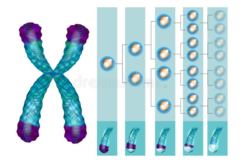 Position of telomeres at the end of our chromosomes. Illustration showing the position of telomeres at the end of our chromosomes. Telomere shortening - with royalty free illustration