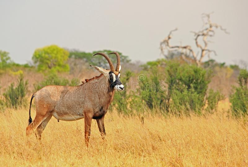 Position trompeuse de Roan Antelope sur les plaines africaines jaunes sèches en parc national de Hwange image stock