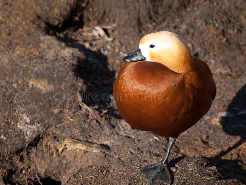 Position vermeille de ferruginea de Tadorna de tadorne photographie stock