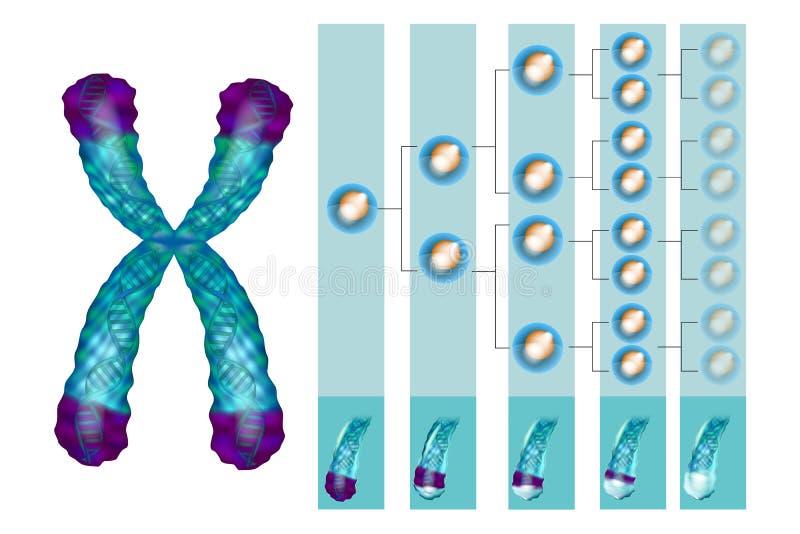 Position von telomeres am Ende unserer Chromosomen lizenzfreie abbildung