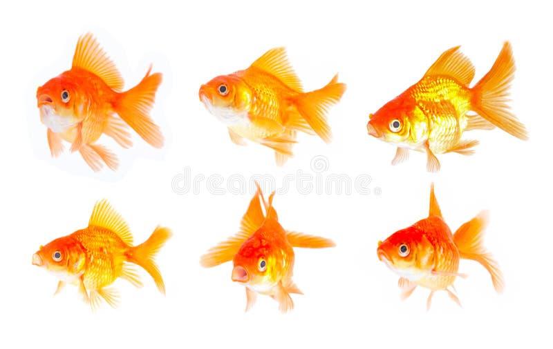 Positionnement de poissons d'or. image stock