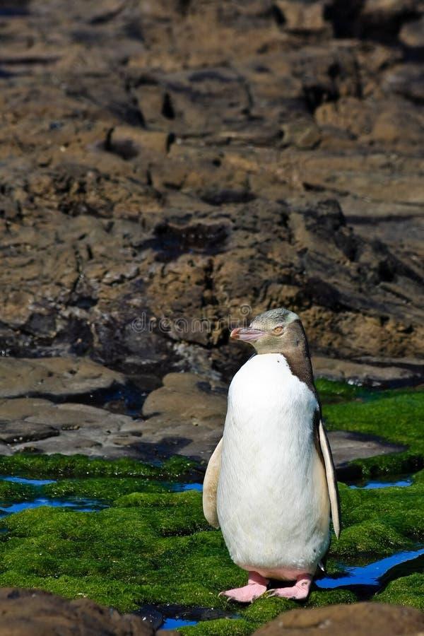 Posizione del pinguino Eyed colore giallo fotografia stock libera da diritti