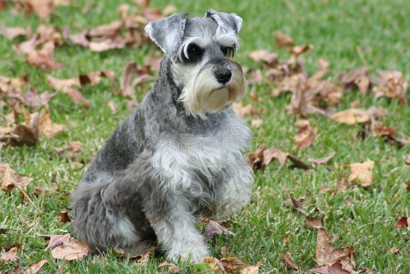 Posizione dello Schnauzer del cucciolo fotografia stock