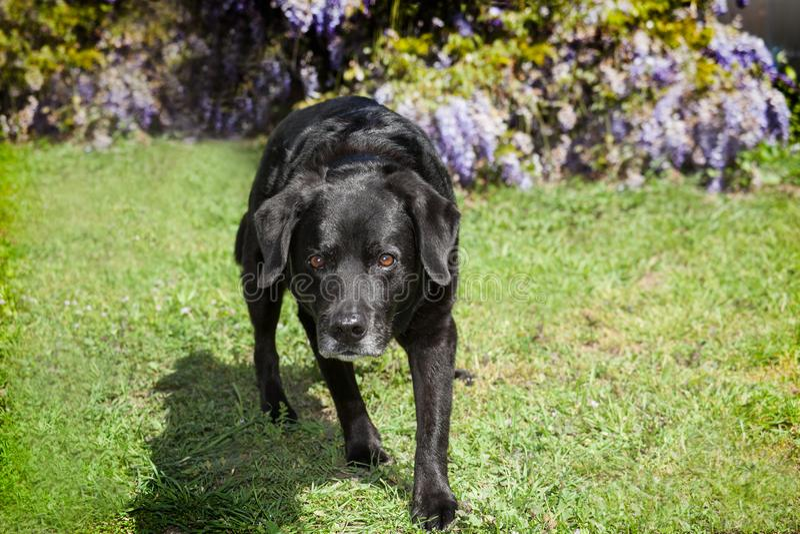 Posizione inhunting di Labrador di strisciamento nero anziano del cane sui grasss immagini stock libere da diritti