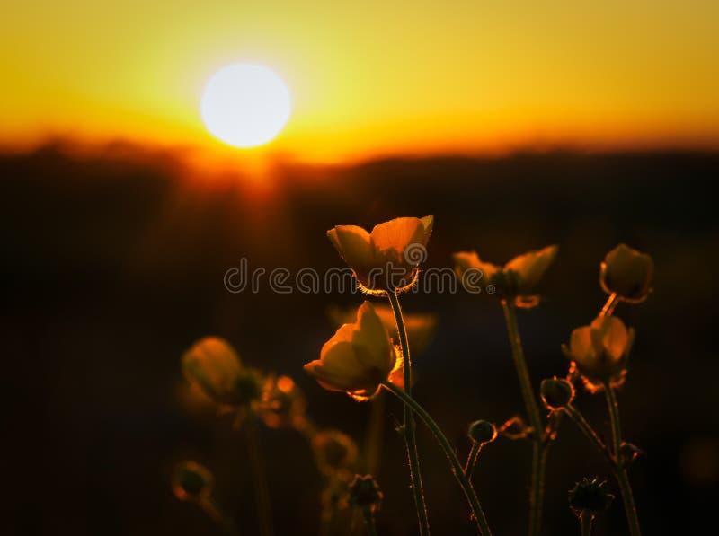 Pospolici jaskiery i położenia słońce obraz stock