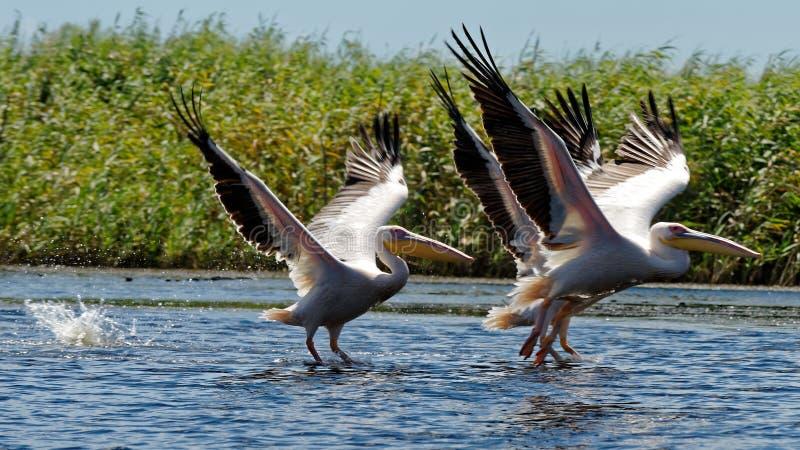 Pospolici pelikany na Danube rzece fotografia royalty free