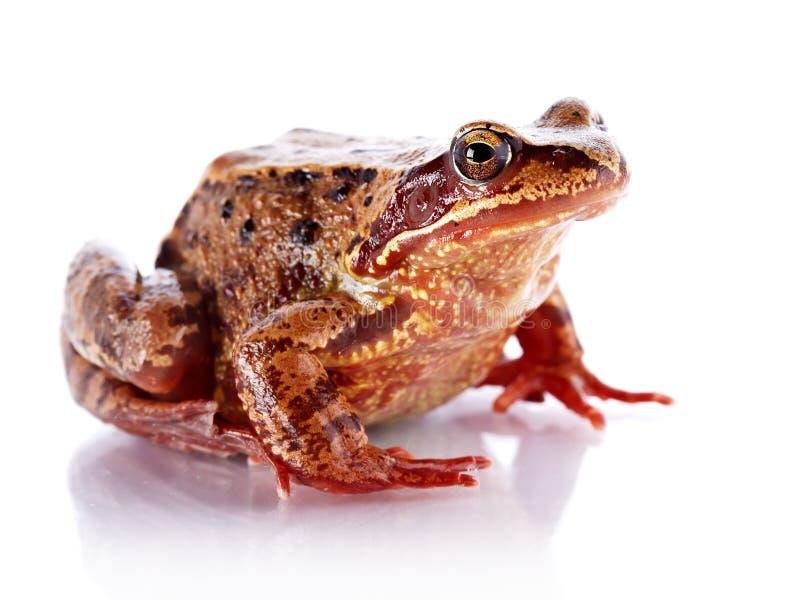 Pospolita żaba. obraz stock