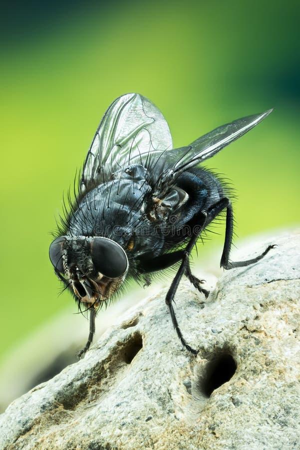 Pospolita Błękitna butelki komarnica, modrak komarnica, Lata zdjęcia stock