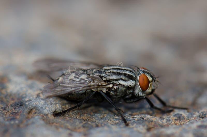 Pospolita ciało komarnica fotografia stock