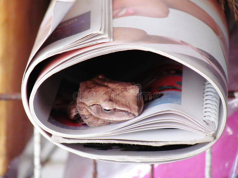 Pospolita drzewnej żaby Polypedates leucomystax szuja w rolki książce zdjęcia stock