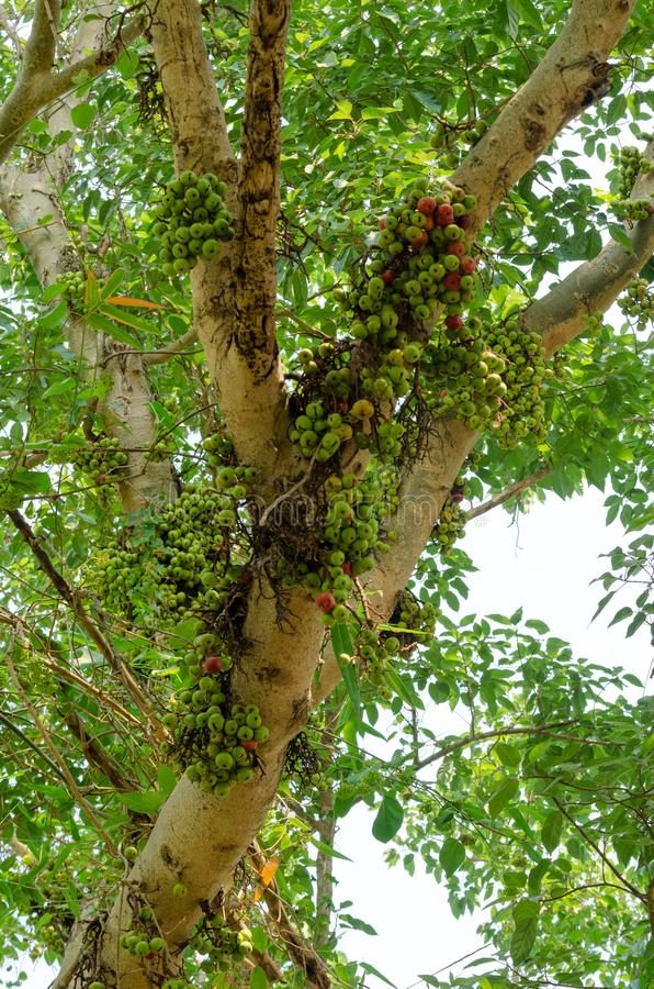 Pospolita figa na drzewie w plenerowym parku obraz stock